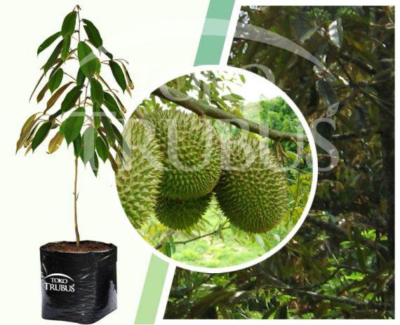 Bibit Tanaman Buah Durian Chane