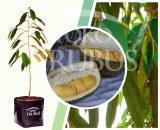Bibit Tanaman Buah Durian D24