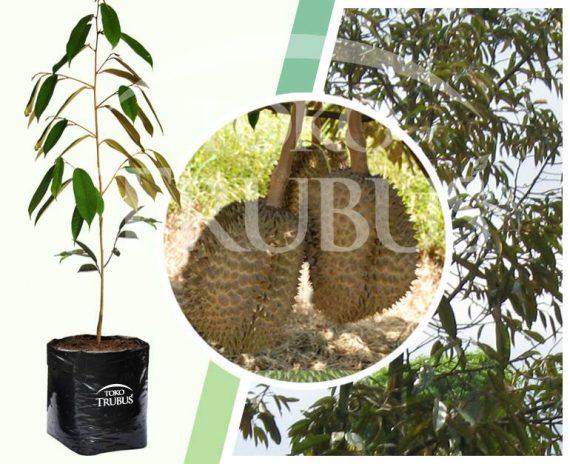 Bibit Tanaman Buah Durian Monthong