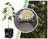 Bibit Tanaman Buah Durian Musangking