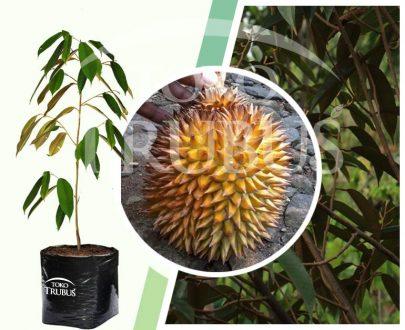 Bibit Tanaman Buah Durian Ripto