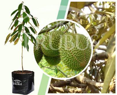 Bibit Tanaman Buah Durian Sunan