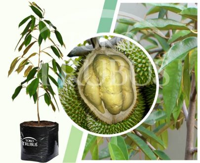 Bibit Tanaman Buah Durian Trisula