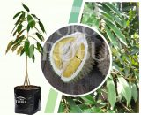 Bibit Tanaman Buah Durian musangking kaki3