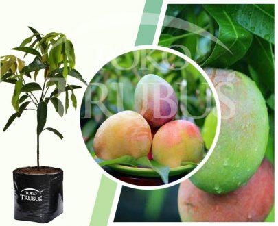 Bibit Tanaman Buah Mangga Agrimania