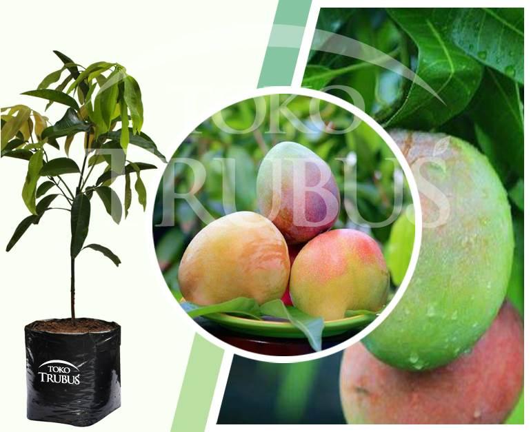 Bibit Mangga Agrimania