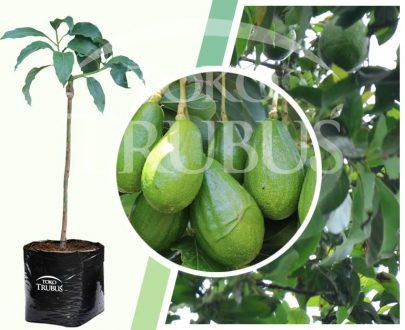 Bibit tanaman buah Alpukat ATM