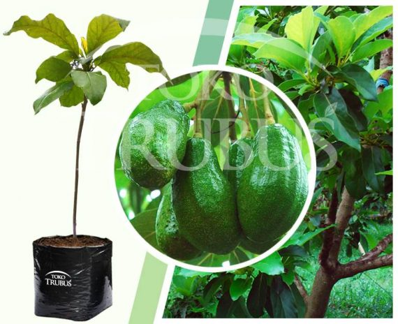 Bibit tanaman buah Alpukat Satelit