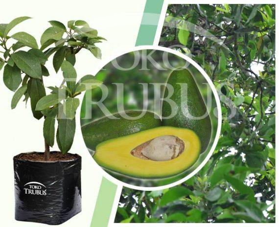 Bibit tanaman buah Alpukat Sijago
