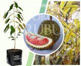 Bibit tanaman buah Durian Merah