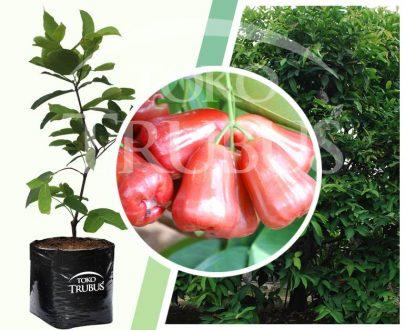 Bibit tanaman buah Jambu Air Citra
