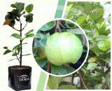 Bibit tanaman buah Jambu Biji Mutiara