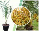 Bibit tanaman buah Kurma Tropis