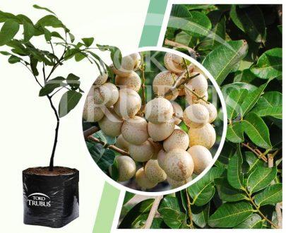 Bibit tanaman buah Lengkeng Mata Lada