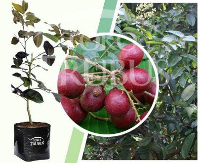Bibit tanaman buah Lengkeng Merah