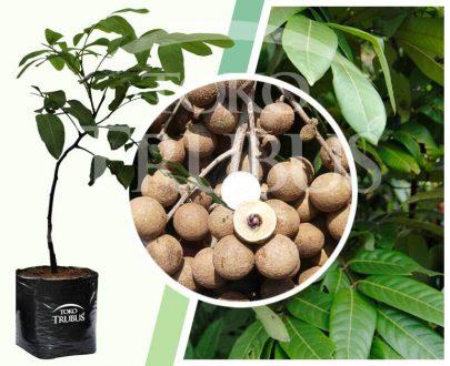 Bibit tanaman buah Lengkeng New Kristal