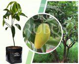 Bibit tanaman buah Mangga Chokanan