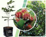 Bibit tanaman buah Rambutan Binjai