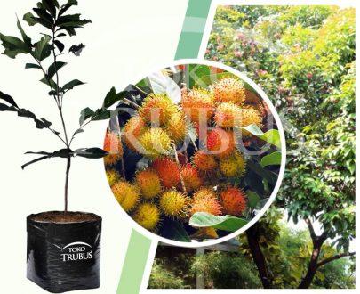 Bibit tanaman buah Rapiah