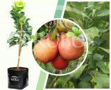 Bibit tanaman buah Red Pamelo