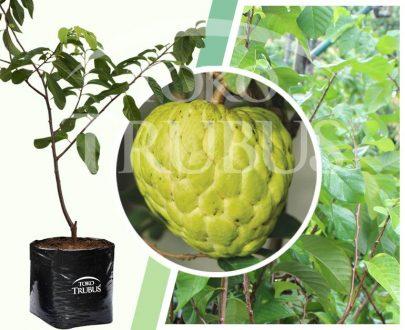 Bibit tanaman buah Srikaya New Varietas