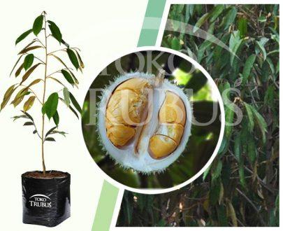 Bibit Tanaman Buah Durian Duri Hitam